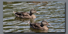 Enjoying the Day (gtncats) Tags: park nature water sunshine birds outside outdoors ducks mallards ef70300mm canon70d photographyforrecreation