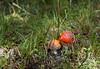 Pair of Amanita Muscaria (vale2174) Tags: funghi rosso amanita fungo phalloides velenoso