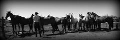 La caballada en el corral (Eduardo Amorim) Tags: horses horse southamerica criollo caballo uruguay cheval caballos cavalos pferde cavalli cavallo cavalo pferd pampa hest hevonen chevaux  amricadosul hst uruguai  amriquedusud   sudamrica suramrica amricadelsur  sdamerika crioulo caballoscriollos criollos   americadelsud tacuaremb  crioulos cavalocrioulo americameridionale caballocriollo eduardoamorim cavaloscrioulos iayayam yamaiay fiestadelapatriagaucha departamentodetacuaremb pampauruguaio pampauruguaya