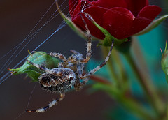 spider and rose (ronleecc) Tags: macro rose spider tokina manualfocus rmc extentiontubes 75150mm sonya3000