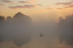 Grey Heron, Bushy Park (Daniel Trim) Tags: park urban london heron birds animals grey wildlife ardeacinerea bushy
