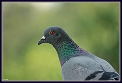 Pigeon (Mitesh S) Tags: india birds canon rebel pigeon pashan pune xsi 450d 55250mm