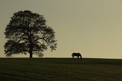 Horse with no name .... (acwills2014) Tags: horses horse tree field silhouette peaceful hillside minimalistic greengrass
