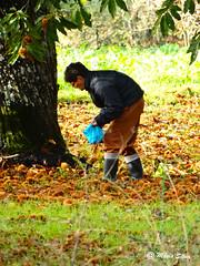 guas Frias (Chaves) - ... na apanha das castanhas ... (Mrio Silva) Tags: portugal outono chaves outubro aldeia trsosmontes 2015 castanhas castanheiro illustrarportugal guasfrias lumbudus
