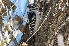 October 12, 2015 - A Downy Woodpecker looks for a meal along the South Platte River in Thornton. (Tony's Takes)