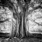B&W Fig Tree thumbnail