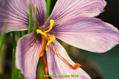 (giordano torretta alias giokappadue) Tags: macro fiore zafferano spezia