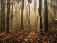 Friston again..... (Sue MacCallum-Stewart) Tags: trees light sun nature sussex woods earlymorning rays fristonforest