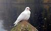 Coombe Abbey  -  Misty Day, Birdlife (kestrel49) Tags: uk autumn trees england mist bird leaves birds misty europe britain dove 15 gb coventry warwickshire countrypark birdlife 2015 whitedove coombeabbey autumncolour coombeabbeycountrypark
