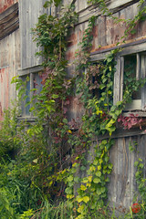 Barn Color (Mark Kaletka) Tags: wood old autumn red color green fall wall museum barn vines rustic ivy weathered