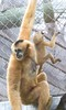 Look at him climb (nhpanda (always trying to catch up....)) Tags: iggy paddy ape gibbon kien stonezoo zne whitecheekedgibbon zoonewengland