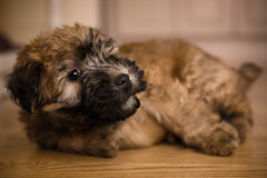 PUPPY-8918-2 (J_Nyman) Tags: male puppy rudy terrier wheaton