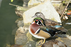 Mr. and Mrs. (Marked_man) Tags: life ohio wild bird feet nature water colors beautiful beauty animal fauna zoo duck colorful natural bright display cincinnati wildlife exhibit fowl waterfowl majestic artful webbed woodduck