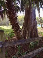 Sabal Palm and Cypress (johnandmary.F) Tags: ocalafl silverspringsstatepark artisansprings