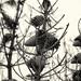 the day room (nosha) Tags: california ca sky usa monochrome beautiful beauty pine sepia coast shore asilomar