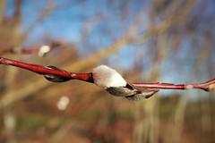 December?!? (elenaangel) Tags: winter nature outside bayern bavaria spring december natur catkin dezember allgu frhjahr palmktzchen drausen toowarmfordecember