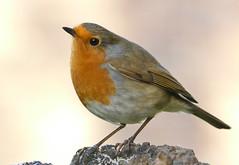 European Robin (michael.smith86) Tags: