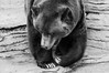 _DSC9414bw (KateSi) Tags: bear blackandwhite bw brown white black animals zoo oso colorado bears denver animales grizzly denverzoo bjorn ours brownbear grizzlybear osos bjorner