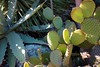 Cactus Garden (alexispadilla) Tags: california travel cactus nature cacti garden berkeley bayarea succulents nopal nopales universityofcaliforniabotanicalgardenatberkeley