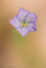Flores de diciembre (miguelangelortega) Tags: flower macro nikon flor sigma colores invierno 105mm cenital estambres ltytr1 d7100