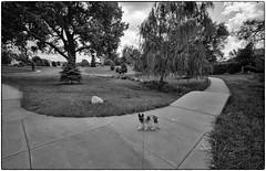 Dom At The Bridge, Lincoln, NE, 2010 (Maggie Osterberg) Tags: leica bw dog film blackwhite nebraska lincoln domino miniatureschnauzer m4p maggieo silverefexpro2 15mmvoigtländersuperwideheliar