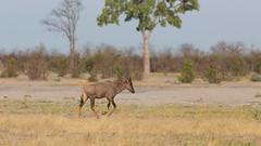 20151107_Savuti_0428.jpg (eLiL1860) Tags: botswana safari2015