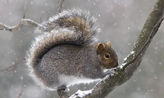 cureuil (Luckyquebec) Tags: winter canada animal squirrel quebec hiver tail queue qubec cureuil ecureuil