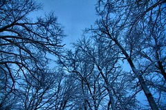 Tree Silhouettes (CCphotoworks) Tags: nature outdoors processing bluesky sky barebranches branches wintertrees december winter baretrees trees