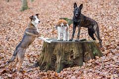 Ennie the queen (Maria Zielonka) Tags: hund hunde hundefotografie dog dogs dogphotography outdoor schäferhund schäferhunde schäferhundmix herder herdershond holländischer hollandse dutch shepherd kooiker kooikerhondje senior junior rudel