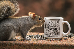 Humans think this is funny? (danstambaugh) Tags: squirrel wildlife nature pa paxtang patnc outside backyard farside cartoon humour mug