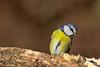 Cinciarella (AIIex) Tags: cincia bird animal cinciarella nikon d7100 tamron 70300 darktable wood bosco wildlife