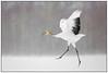 'The dance of the crane …..', genieten van de kraanvogels (juveniel) in Hokkaido …. (Martha de Jong-Lantink) Tags: 2015 akaninternationalcranecentre akaninternationalcranecentrekushiro chinesekraanvogel crane cranes grusjaponensis hokkaido japan japanesecrane japanesecranes kushiro redcrownedcrane redcrownedcranes sneeuw snow squiver