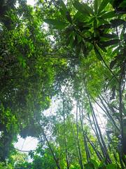 Bamboo (Lichtjaegerin) Tags: bambus bamboo olympusem1 olympus12100 martinique rainforest caribbean karibik regenwald