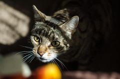 on the hunt (clupko711) Tags: cat tabby tabbycat hunting light contrast