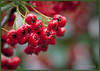 Berried Treasure (Pixelated Sky) Tags: yule dangling tree berry cotoneaster winter abundance wet shiny fruit christmas nature red