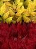 57996.01 Acer palmatum, Xanthorhiza simplicissima (horticultural art) Tags: horticulturalart acerpalmatum acer japanesemaple xanthorhizasimplicissima xanthorhiza yellowroot leaves
