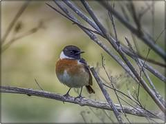 CAGARROPE (BLAMANTI) Tags: aves avesdeespaña pajaros campo naturaleza colorido