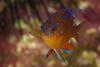 garibaldiJuv2Dec10-16 (divindk) Tags: anacapa anacapaisland californiaunderwater channelislands channelislandsnationalpark hypsypopsrubicundus sanmiguelisland santabarbara santacruzisland santarosaisland underwater ventura color damselfish diverdoug fish garibaldi juveniledamselfish juvenilefish juvenilegaribaldi marine ocean reef sea spines spots underwaterphotography