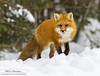 Red fox (eric marceau) Tags: animal mammal red fox winter snow quebec canada wild wildlife