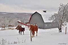 185_00003 copie (marcthéberge) Tags: paysage hiver landscape winter snow neige québec canada estrie easterntownship cheval horse grange barn cantondestanstead