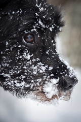 psyched in the snow (primemundo) Tags: dog puppylove puppy snout eye snow ice frosty odc schnauzer winter nose pooch fur face