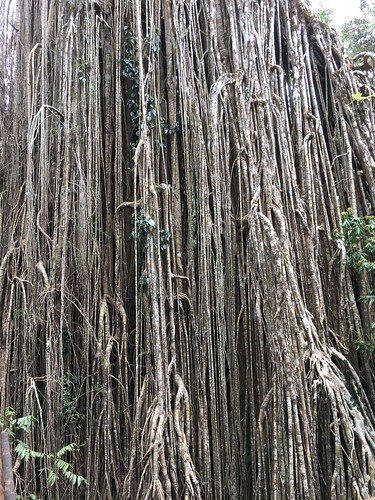 Curtain Fig