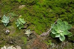 Dudleya cymosa, LIVEFOREVER. (openspacer) Tags: crassulaceae dudleya lospadresnationalforest montereycounty