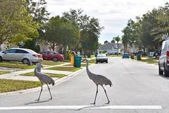 Crossing at the crosswalk...Sandhill Cranes in residential area (Kissimmee, Florida) (stevelamb007) Tags: crosswalk d7200 nikon stevelamb birds sandhillcranes cranes kissimmee florida
