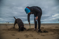 Zeppelin and Wife, Chocolate Labrador, Liverpool (Pablo8485) Tags: zeppelinandwife chocolatelabrador liverpool dog labrador fun digging landscape