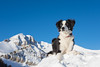 Goose. (nevadoyerupaja) Tags: davidbowersphotography goose searchandrescue usa avalanche canine dog jhmr jhsp outdoors rescue search snow winter