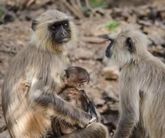 Ranthambore National Park, India (ravalli1) Tags: india ranthambore park monkeys nature rajasthan vacations nikon