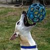 Catch! (DiamondBonz) Tags: spanky hound whippet gotcha day play dog pet