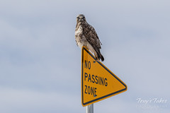 Rough Legged Hawk encorces the No Passing Zone