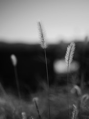 (t*tomorrow) Tags: panasonic lumix gx8 25mmf17 monochrome 白黒 モノクロ 植物